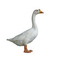 White domestic goose on white background isolated Stock Images