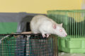White domestic rat on a cage close up Royalty Free Stock Photography