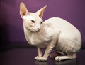 White Don Sphinx cat Royalty Free Stock Photo