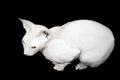 White Don Sphinx cat isolated on black Stock Image