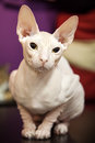 White Don Sphinx cat portrait Stock Photography