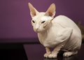 White Don Sphinx cat seats on table Stock Photos