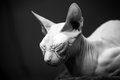 White Don Sphinx cat sleeps Stock Images