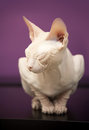 White Don Sphinx cat slumbers Stock Photo