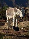 White donkey and black cat cabanaconde peru Stock Images