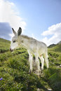 White donkey colt picture of a cute and all Stock Photography