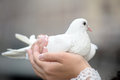 White dove in female hands Royalty Free Stock Photo