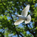 White dove fly Royalty Free Stock Photo