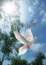 White dove flying Royalty Free Stock Photo