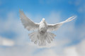 White dove is flying Royalty Free Stock Photo