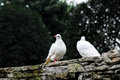 White dove in love the on the tree Royalty Free Stock Photography