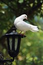White dove perches on lantern a an iron Royalty Free Stock Image
