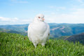 White dove or pigeon Royalty Free Stock Photo