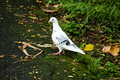 White dove standing on the side of a street photograph with dark colored feathers rural Royalty Free Stock Image