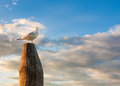 White dove on the stick standing during sunset Royalty Free Stock Photos