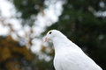 White dove the on the tree Stock Image