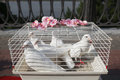 White dove, wedding dove dove in a cage Royalty Free Stock Photo