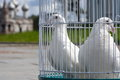 White doves for a wedding in a birdcage, white bird in a cage