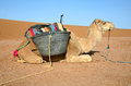 White dromedary camel in a sahara desert ready for a ride Stock Image