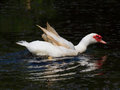 White duck flapping ducks in the pond Stock Photos