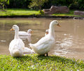 White duck on a green lawn Royalty Free Stock Images