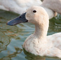 White duck in the local farm Royalty Free Stock Image