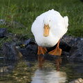 White duck by pond Stock Photo