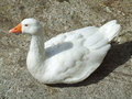 White duck sitting in the sun Stock Photos