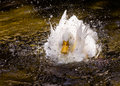 White duck in a splash Royalty Free Stock Images