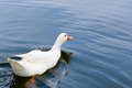White duck swimming in the pool with copy space Stock Photo