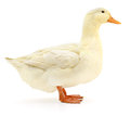 White duck on white. Royalty Free Stock Photo