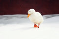 white duck on the white snow Royalty Free Stock Photo