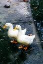 White ducks Royalty Free Stock Photo