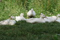 White ducks young are in the shade in the summer in the meadow in the farm Royalty Free Stock Images