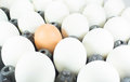 White eggs one brown egg ordered plastic box Royalty Free Stock Images