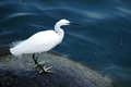 White Egret. Stock Photos