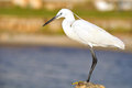 White egret also called heron on the rock at tel aviv port israel Royalty Free Stock Photography