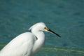 White Egret on a Beach Royalty Free Stock Photo
