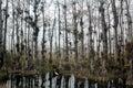 White Egret cypress swamp Royalty Free Stock Photo