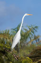 White egret, Dominican Republic Royalty Free Stock Photo