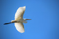 White Egret in Flight Royalty Free Stock Photo