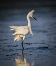 White egret with fluffy feathers Royalty Free Stock Photo
