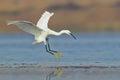 White egret landing on water Royalty Free Stock Photo