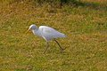 White egret in lodi garden delhi Stock Photos