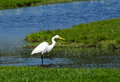 White egret in a michigan pond beautiful walks through searching for fish Stock Photos