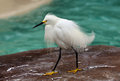 White egret portrait of an taken in san diego Royalty Free Stock Photos