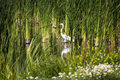 White Egret Standing Among Green Reeds Wetlands Royalty Free Stock Photo