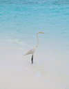 White egret on a tropical beach grey heron stands the near the sea Stock Photography