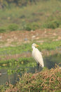White egret a in an unusual pose on the bank of a lake Stock Image