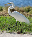 White egret walking  Royalty Free Stock Images